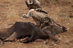 Gli avvoltoi mangiano uno Gnu Immagini Stock