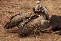 Gli avvoltoi mangiano uno Gnu Fotografie Stock
