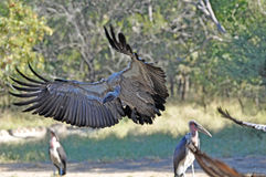 Gli avvoltoi spande le sue ali Fotografia Stock