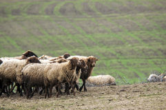 gli azionamenti del pastore sulla montagna dirigono un attara delle pecore, la zona di montagna del deserto, Gazakh Azerbaigian Immagine Stock Libera da Diritti