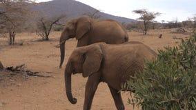 Gli elefanti adulti africani del gregge passa attraverso la riserva arida di Samburu della terra di Brown Immagini Stock Libere da Diritti
