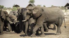 Gli elefanti africani all'elefante insabbiano il waterhole, Botswana Immagini Stock Libere da Diritti