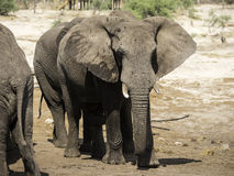 Gli elefanti africani all'elefante insabbiano il waterhole, Botswana Immagine Stock