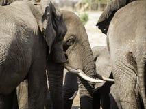 Gli elefanti africani all'elefante insabbiano il waterhole, Botswana Fotografie Stock Libere da Diritti