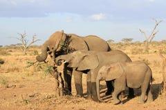 Gli elefanti africani dell'età differente Fotografie Stock