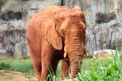 Gli elefanti africani hanno contaminato il fango Fotografia Stock Libera da Diritti
