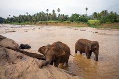 Gli elefanti che bagnano nel fiume Fotografia Stock