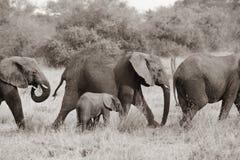 Gli elefanti con il bambino che cammina insieme, elefanti proteggono gli elefanti del bambino, Africa, fotografia in bianco e ner fotografia stock