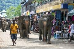 Gli elefanti dall'orfanotrofio dell'elefante di Pinnawela camminano da Maya Oya River di nuovo all'orfanotrofio Immagini Stock