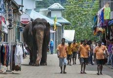 Gli elefanti dall'orfanotrofio dell'elefante di Pinnawela camminano da Maya Oya River di nuovo all'orfanotrofio Fotografie Stock