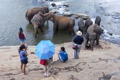 Gli elefanti dall'orfanotrofio dell'elefante di Pinnawela (Pinnewala) si rilassano sulla banca di Maha Oya River nello Sri Lanka Fotografia Stock Libera da Diritti