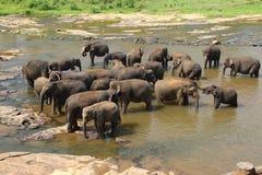 Gli elefanti dell'orfanotrofio dell'elefante di Pinnawala sta bagnando Fotografia Stock