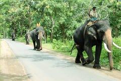 Gli elefanti preparati hanno chiamato Kumki Immagine Stock