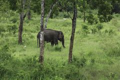 Gli elefanti selvaggi vivono in foresta profonda Fotografia Stock