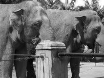 Gli elefanti si chiudono su bianco nero fotografie stock