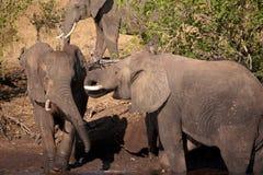 Gli elefanti stanno giocando Fotografia Stock Libera da Diritti