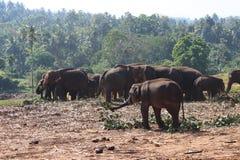 Gli elefanti sulla passeggiata Immagini Stock Libere da Diritti