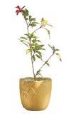 Gli ibischi rossi si dirigono la pianta in vaso da fiori ceramico giallo isolato Immagini Stock