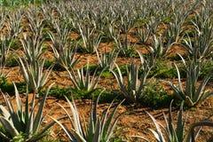 Gli impianti farmaceutici di vera dell'aloe sistemano nell'isola di Creta, Grecia Immagini Stock