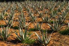 Gli impianti farmaceutici di vera dell'aloe sistemano nell'isola di Creta, Grecia Fotografia Stock Libera da Diritti