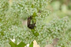 Gli insetti del giardino crescono nel giardino sulle piante coltivate immagine stock