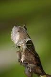 Gli insetti del primo piano sulla foglia Fotografia Stock Libera da Diritti