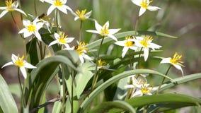Gli insetti raccolgono il polline dai fiori della molla stock footage