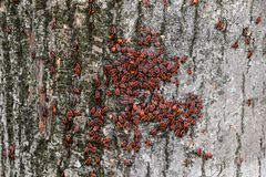 Gli insetti rossi prendono il sole al sole sulla corteccia di albero Caldo-soldati di autunno per gli scarabei Immagine Stock Libera da Diritti