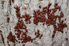 Gli insetti rossi prendono il sole al sole sulla corteccia di albero Caldo-soldati di autunno per gli scarabei Immagine Stock