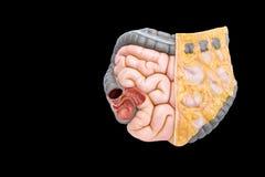 Gli intestini umani modellano su fondo nero fotografia stock