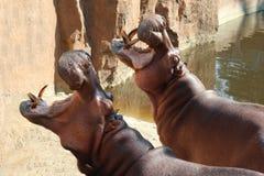 Gli ippopotami hanno aperto le loro bocche che aspettano l'alimento Immagini Stock Libere da Diritti