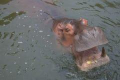 Gli ippopotami stanno mangiando il cereale nell'acqua come fame fotografia stock libera da diritti