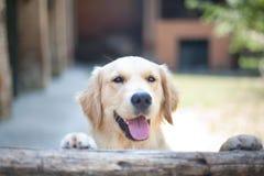 Gli occhi curiosi del cane di golden retriever si chiudono sul fuoco su una palude di legno immagine stock