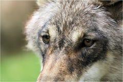 Gli occhi dei lupi Fotografie Stock