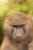 Gli occhi del babbuino Immagine Stock