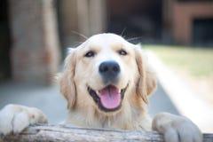 Gli occhi del cane di golden retriever si chiudono sul fuoco su un recinto di legno Outdo immagini stock libere da diritti