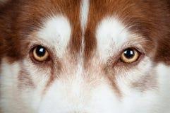 Gli occhi del cane si chiudono in su Fotografia Stock