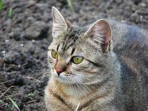 Gli occhi del gatto Immagini Stock Libere da Diritti