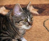 Gli occhi del gatto Fotografia Stock Libera da Diritti