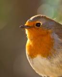 Gli occhi del Robin fotografie stock libere da diritti
