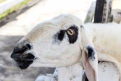 Gli occhi delle pecore Fuoco sugli occhi delle pecore Immagini Stock Libere da Diritti