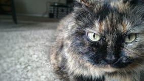 Gli occhi di gatti Fotografie Stock