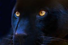 Gli occhi di un predatore Fotografie Stock Libere da Diritti
