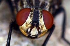 Gli occhi rossi capi della mosca si chiudono in su Fotografie Stock