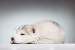 Gli occhi sonnolenti del cucciolo del husky si aprono Fotografie Stock