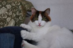Gli occhi verdi del gatto sveglio divertente affilano gli artigli immagini stock
