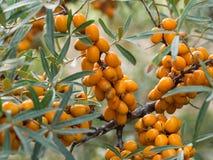 Gli olivelli spinosi dettagliano di un arbusto con i frutti arancio immagini stock libere da diritti