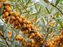 Gli olivelli spinosi dettagliano di un arbusto con i frutti arancio fotografia stock libera da diritti