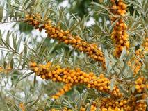 Gli olivelli spinosi dettagliano di un arbusto con i frutti arancio fotografie stock libere da diritti