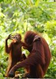 Gli orangutan selvaggi Borneo della mamma e del bambino telefonano la carta da parati fotografia stock